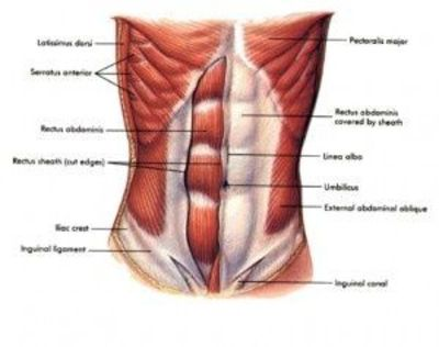 Stomach muscles anatomy / fitness - Juxtapost