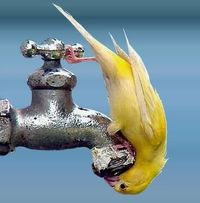 yellow bird drinking out of faucet