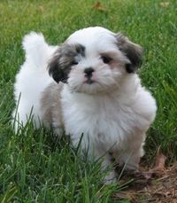 Little shih tzu