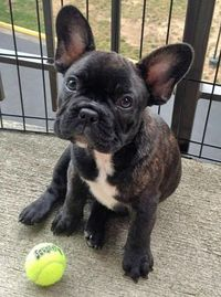 Reggie the French Bulldog Pictures: Ears!!!!
