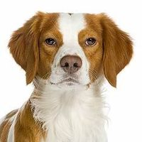 Brittany Spaniel...my husband's favorite dog breed.