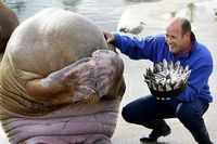 A walrus reacts after being presented with a birthday cake made from fish. Aweee I could cryyy!!!!!