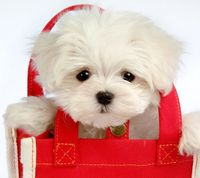 Shopping bag puppy