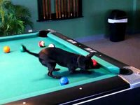 Chihuahua plays pool - and he's a champ [VIDEO]